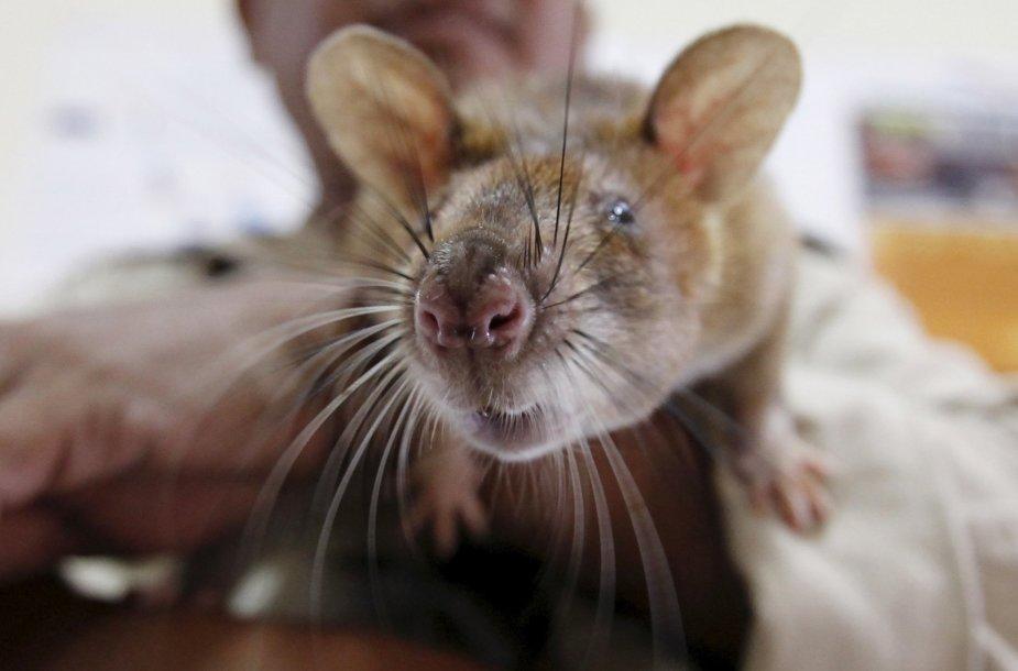 Žiurkės apmokomos rasti minas