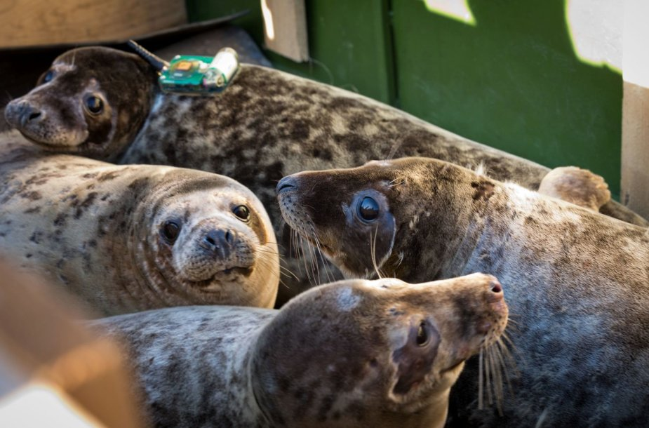 Ant ruonių pritvirtinti siųstuvai leido mokslininkams stebėti, kur gyvūnai nukeliavo