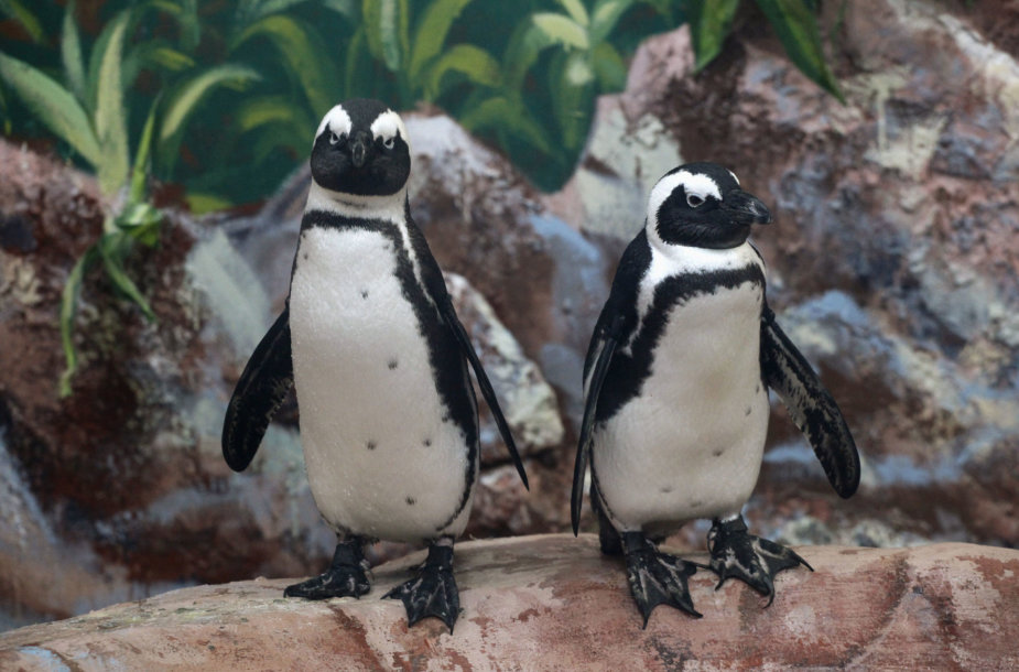 Akiniuotieji pingvinai