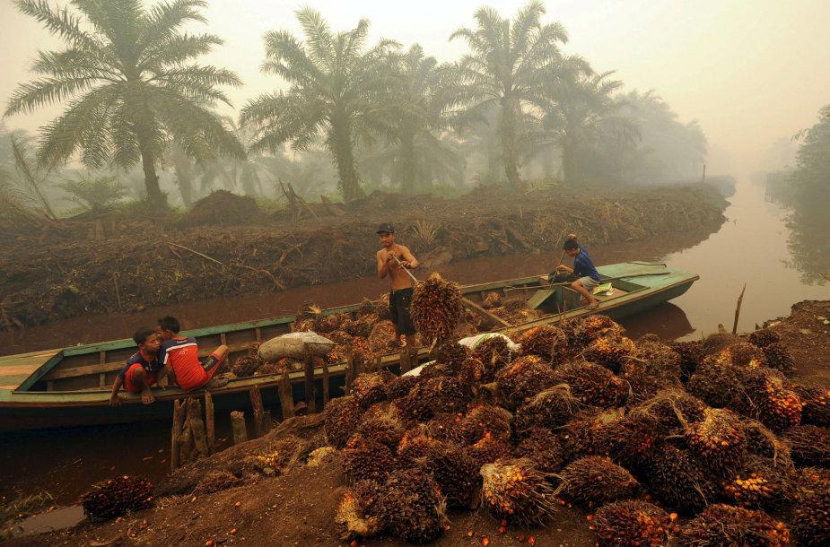 Darbininkas aliejinių palmių plantacijoje