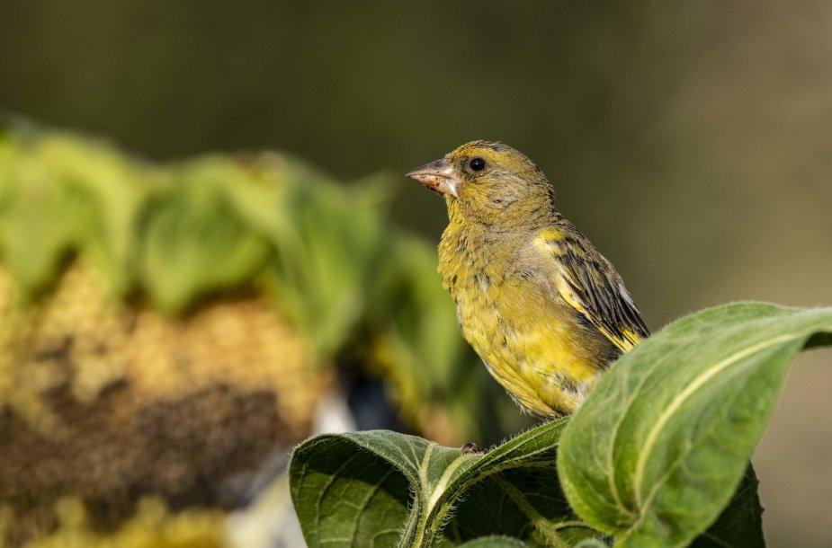 Saulėgrąžos maitina paukščius