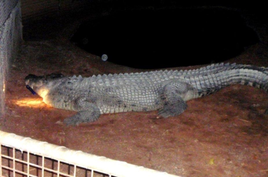 Australijos policijos nuotraukoje įamžintas tas pats briaunagalvis krokodilas Fatso.