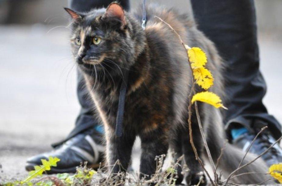 Katytė Musė