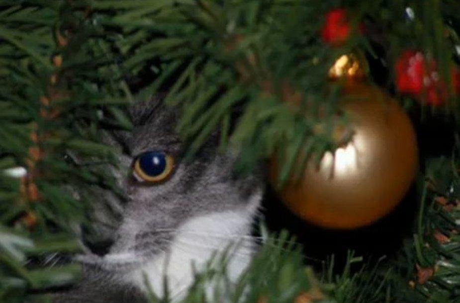 Katės dažnai neatsispiria pagundai įsikarti į Kalėdų eglutes.