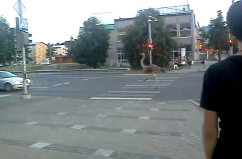 Gatvėmis lakstantys stručiai – neįprastas vaizdas Estijoje.