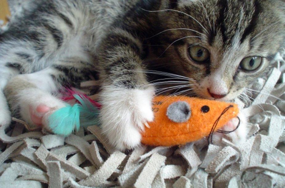 Žaidžiantis kačiukas