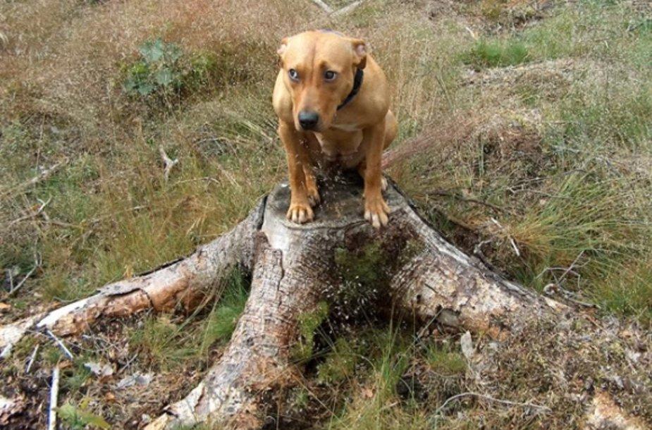 Bailus šuo
