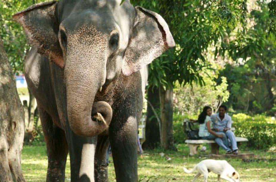 Viešajame parke drambliai laisvai vaikšto kur panorėję.