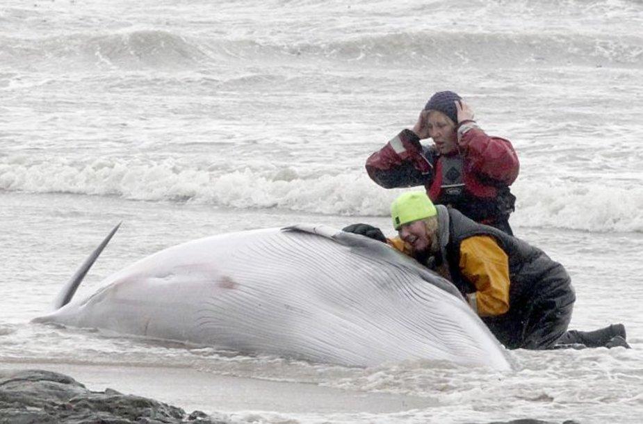 Žuvęs banginis Škotijoje