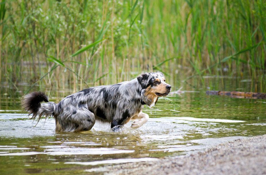Besimaudantis šuo