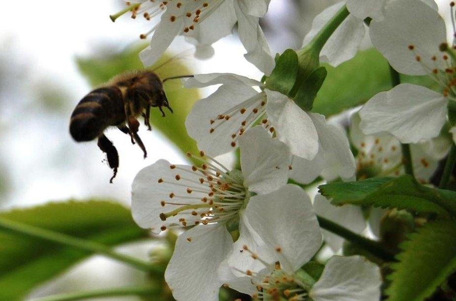 Besidarbuojanti bitė