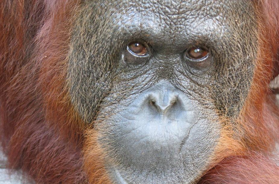 Orangutanas