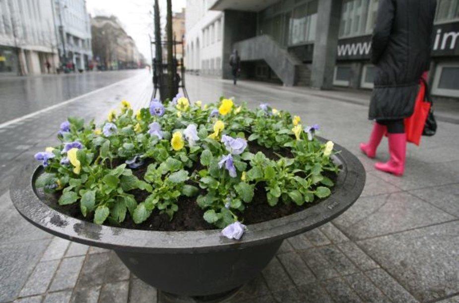 Iki vasaros našlaitės žydės beveik 200-uose Vilniaus gėlinių.
