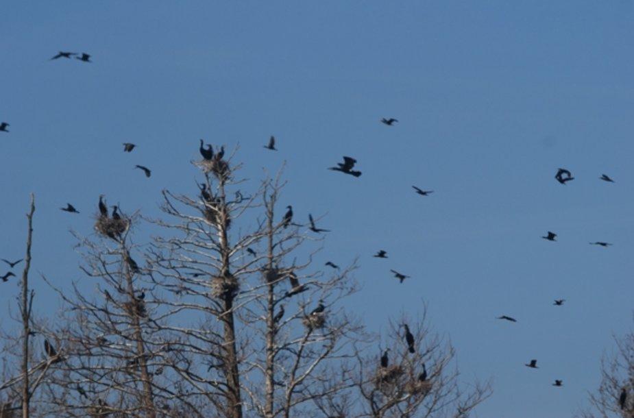 Briedžio saloje apigyveno gausus kormoranų būrys.