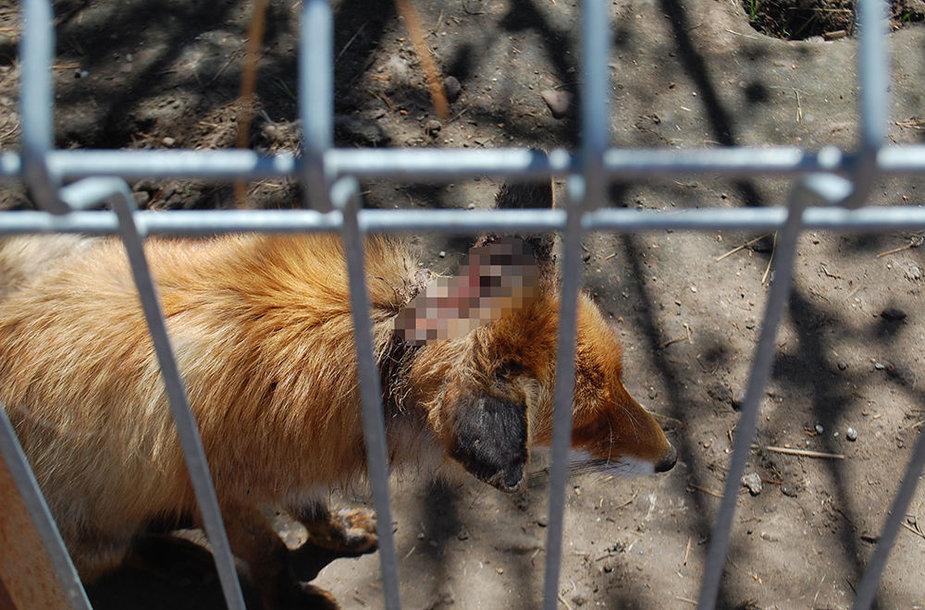 """""""Mini zoo"""" lankytojus išgąsdino po voljerą sliūkinusi liūdna lapė su pradrėkstu pakaušiu."""