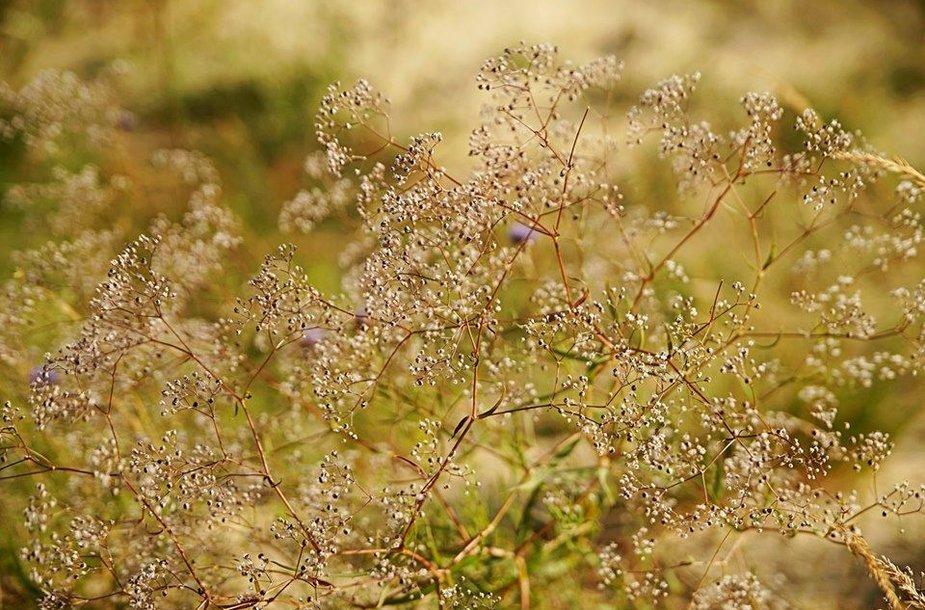 Gubojos laikomos invaziniu augalu, kuriam plečiantis nyksta vietiniai augalai.