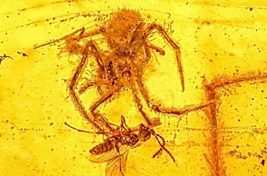 Unikaliame gintaro gabalėlyje – vapsvą puolančio voro inkliuzas.