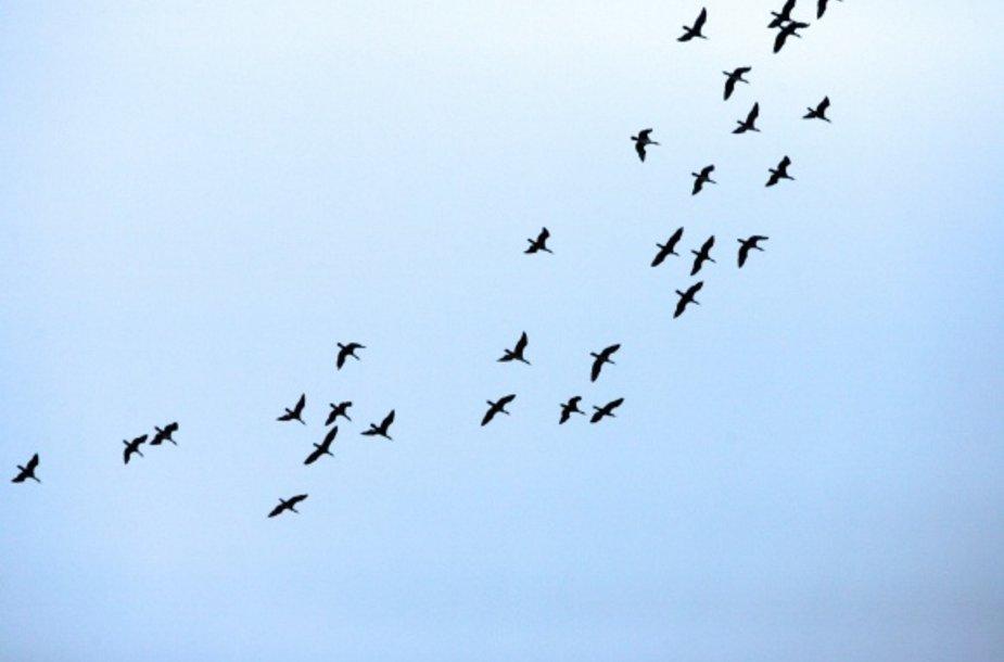 Daugiausia paukščių ornitologai priskaičiuoja rugsėjį ir spalį, šiems traukiant į šiltesnius kraštus.