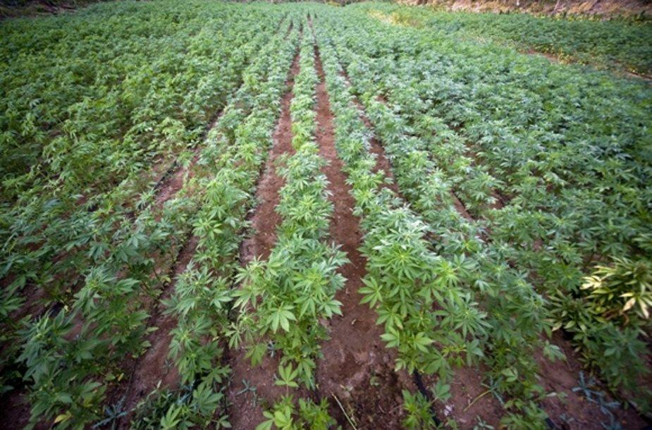 Marihuanos plantacija