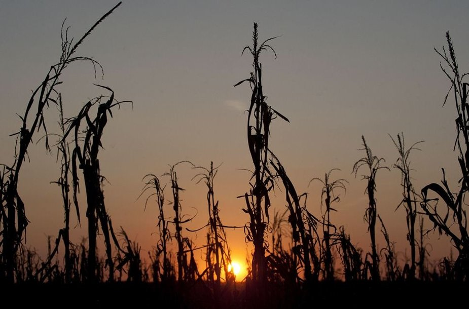 Sausros suniokoti kukurūzai