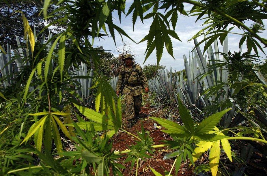 Meksikos karys marihuanos lauke