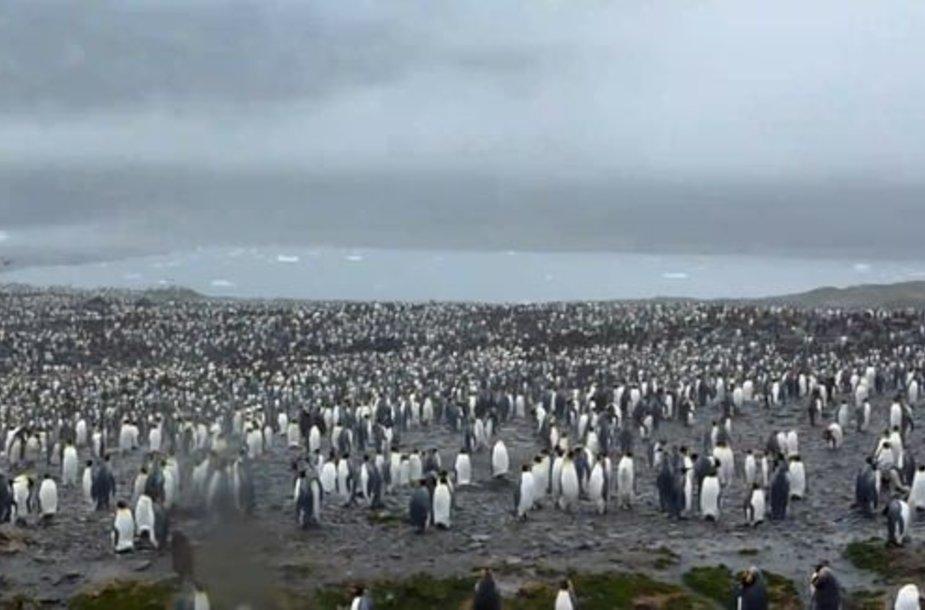 Pingvinai Pietų Džordžijos saloje.
