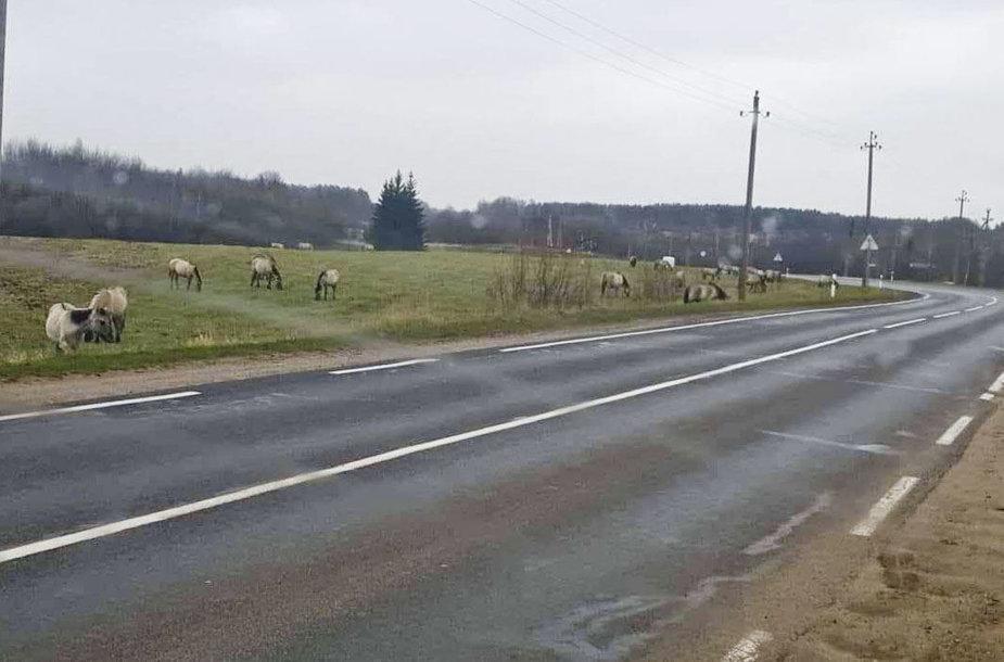 Laisvai vaikštantis arkliai šalia Ažulaukės kaimo Vilniaus rajone
