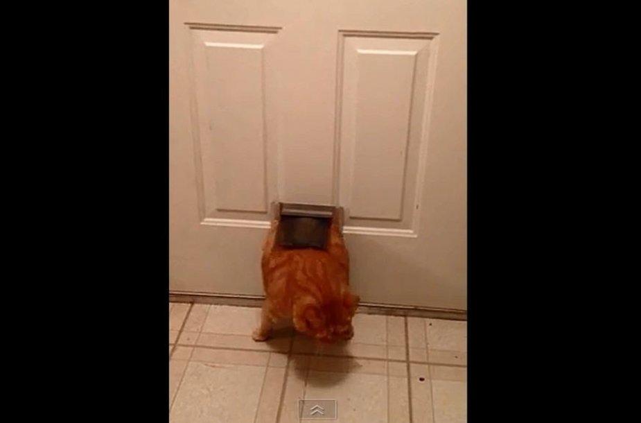 Katinas lenda per siaurą angą duryse