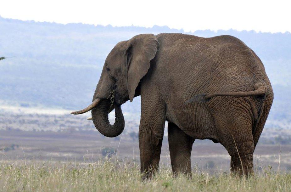 Savanų dramblys