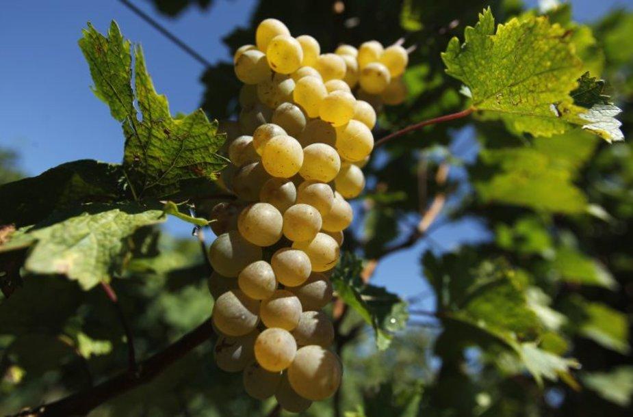 Gruzijoje vynuogės sunoksta puikiai