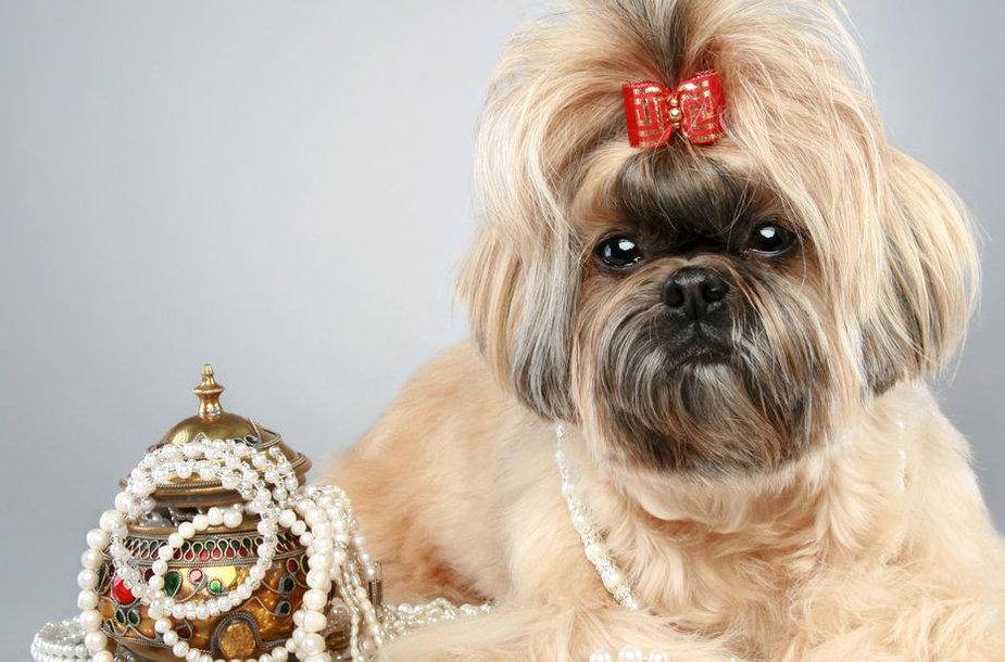 Shih Tzu veislės šunelis
