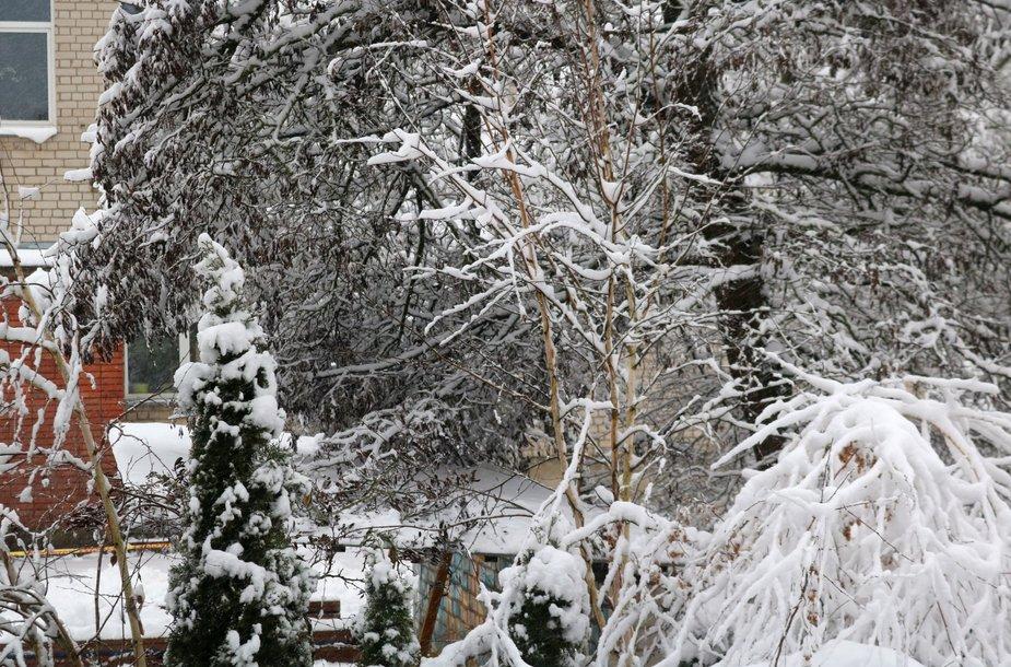 Gausus sniegas laužo medžių šakas