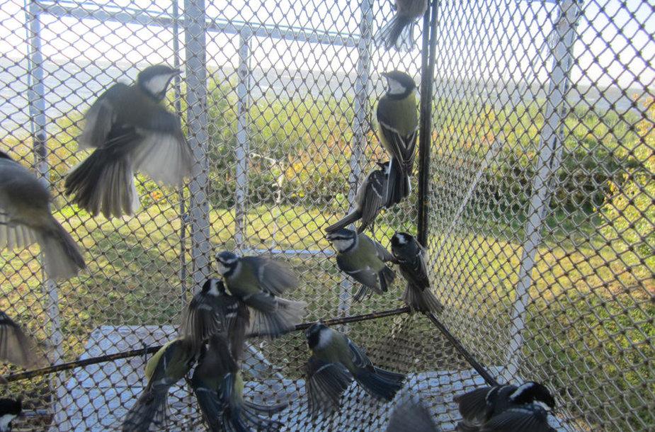 Ventės rage kasmet sužieduojama 60–100 tūkstančių paukščių