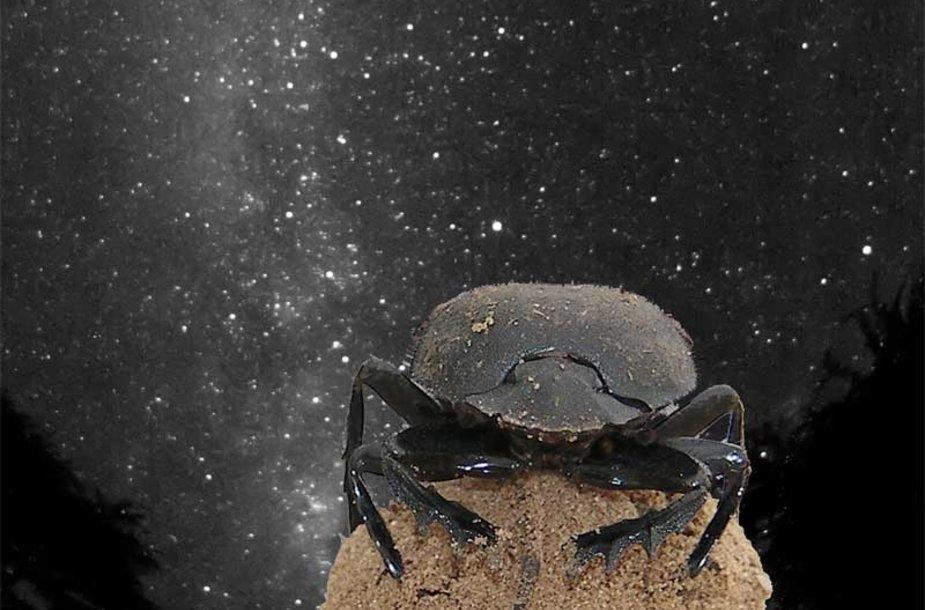 Afrikoje gyvenantys skarabėjai yra pirmieji žinomi vabzdžiai, gebantys orientuotis pagal žvaigždes