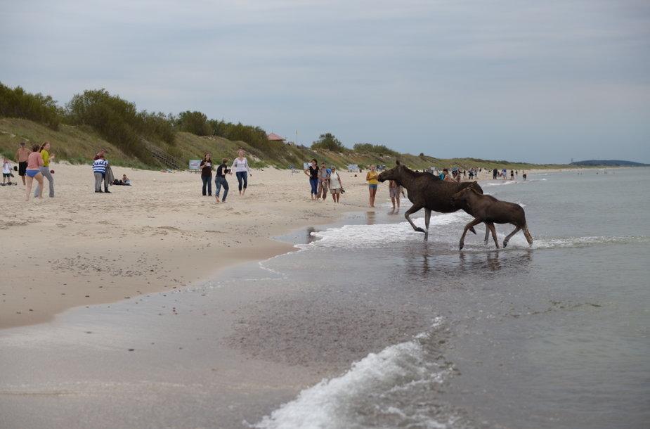 Briedžiai Nidos pliaže