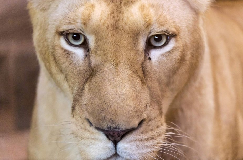 Baltojo liūto jaunikliai Prancūzijos zoologijos sode