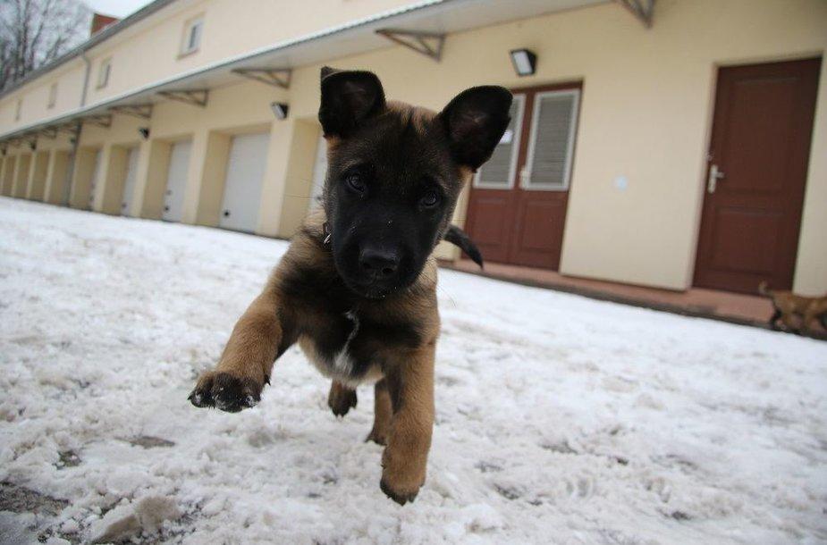 Pasieniečių tarnybinių šunų būrį papildė keturi jauni belgų aviganiai
