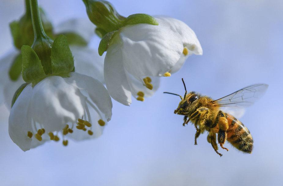 Bitė renka medų Vokietijoje