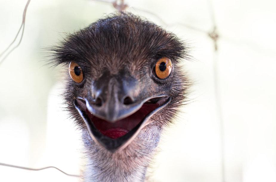 Paukštis emu
