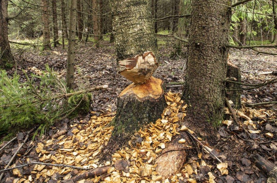 Kitų medžių nėra, tad bebrai graužia storus beržus