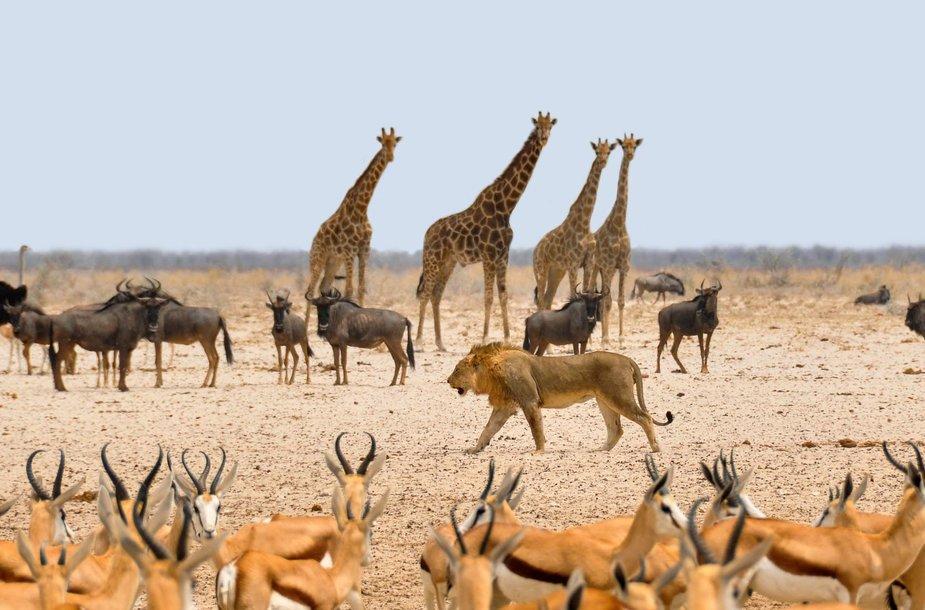 Afrikos žvėrys, Botsvana