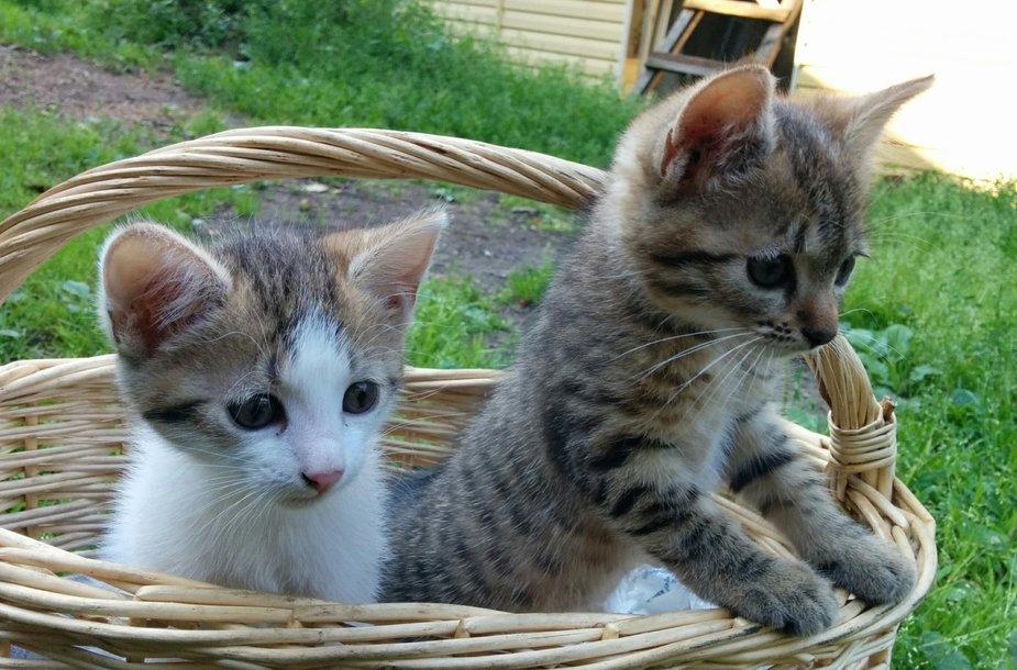 Kačiukai pintinėje