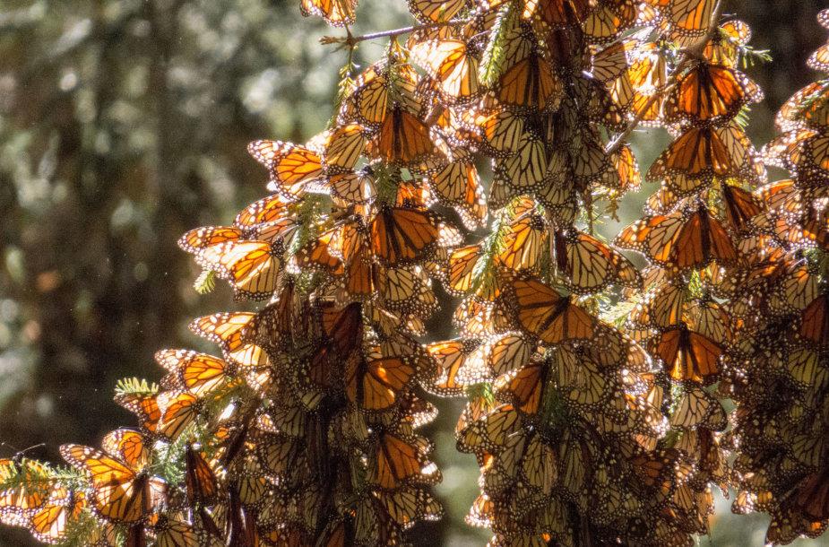 Monarcho drugeliai