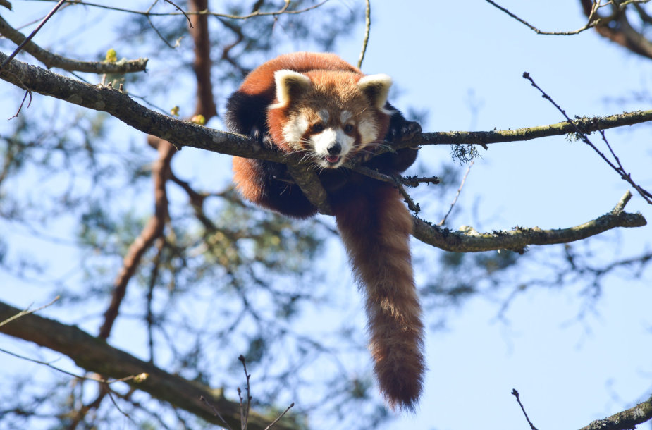 Mažoji panda