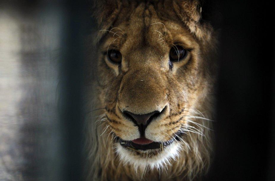 Bute kaip gyvūnėlis laikytas ir išgelbėtas liūtas