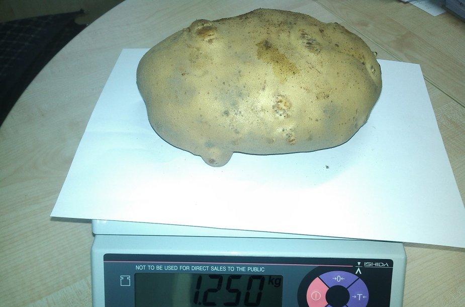 Rasta bulvė