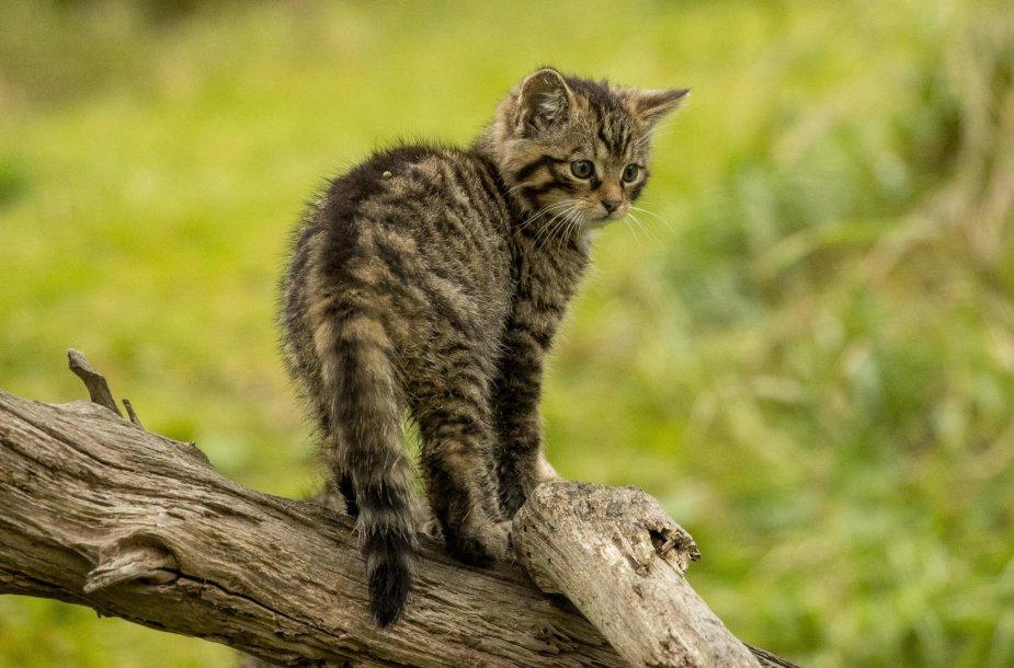 Laukinių kačių jauniklių žaidimai