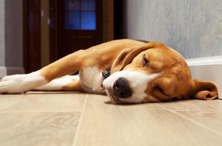 Ant grindų miegantis šuo
