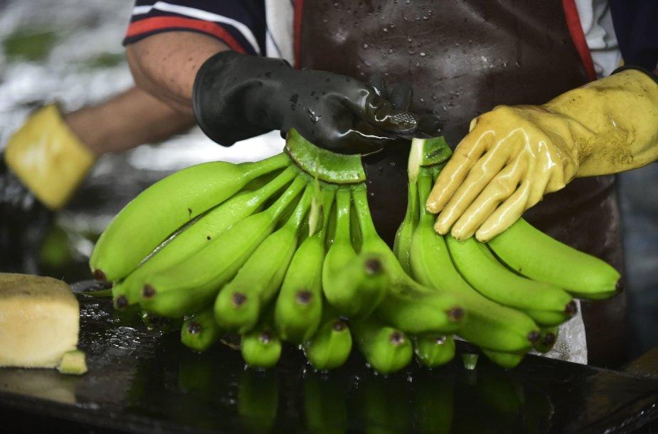 Darbas vienoje iš Ekvadoro bananų plantacijų