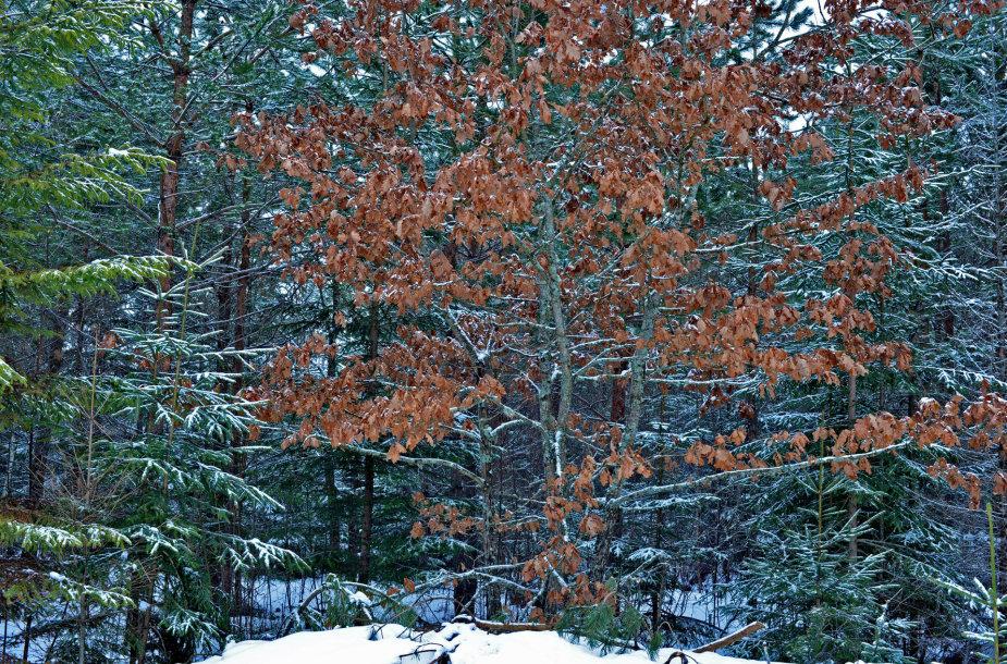 Visą žiemą braška ąžuolo lapai.